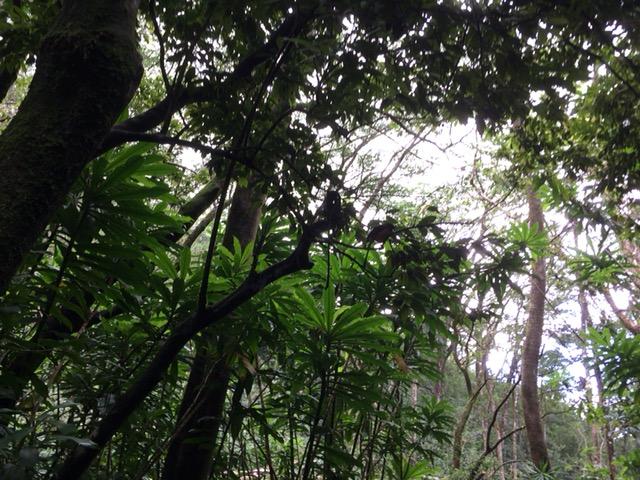 マノアの滝の途中にある緑のスタ...